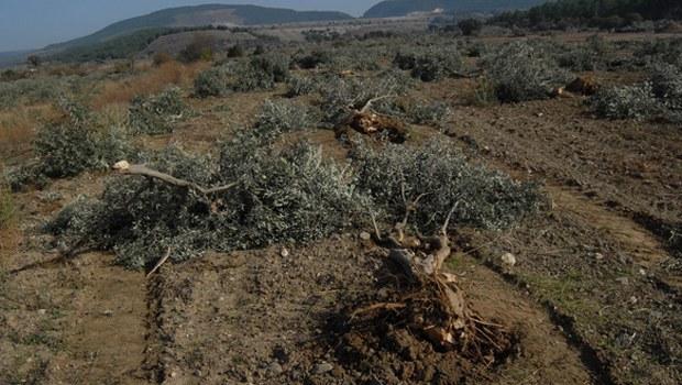 6 bin Zeytin Ağacı Kesildi